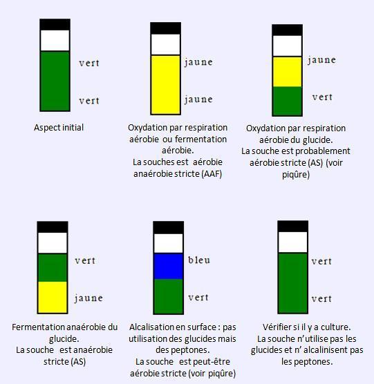 la voie dattaque du glucose dterminer la voie dattaque du glucose selon la couleur du milieu et la zone dacidification - Coloration De Gram Protocole